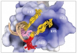 The interactions of chemokines with the receptors that serve as HIV-1 coreceptors