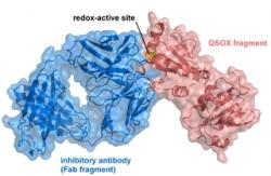 crystal structure of inhibitory antibody to QSOX