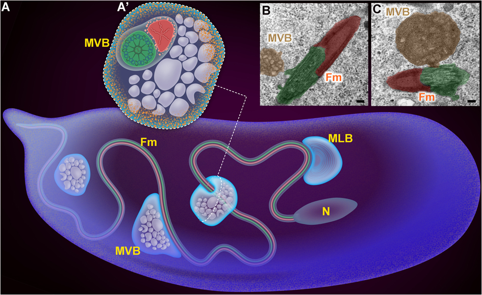 Paternal mitochondrial destruction after fertilization