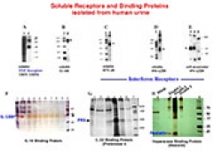 Visualization of soluble receptors and binding proteins by polyacrylamide gel electrophoresis (PAGE)