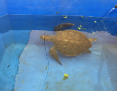 Sea Turtles Rescue Center - September 2018 picture no. 2