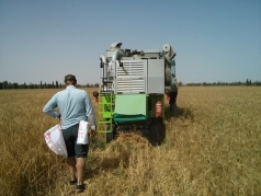 Harvesting Wheat 2015 South