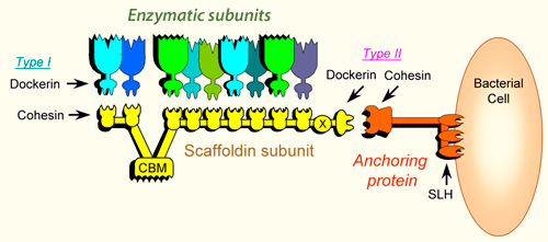 Cellulosome Systems