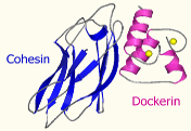 Cohesin-dockerin Interactions