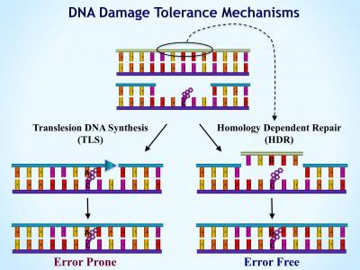 comparative analysis of dna damage in A comparative evaluation of radiation-induced dna damage using real-time pcr: comparative analysis of radiation-induced dna damages of the ccma and ccmb genes.