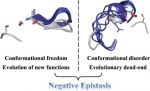 Conformational freedom permits evolution of new functions, while conformational disorder causes evolutionary dead-ends.