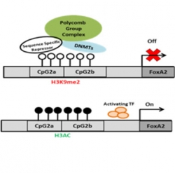 Gene regulation in developing and mature beta cells