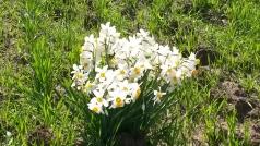 Rehovot Daffodils 2014
