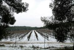 Snow over the grape yard Jan. 2013