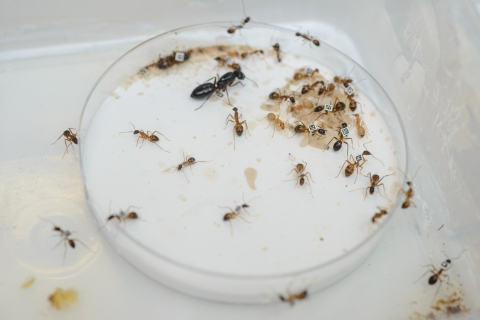 Queen ant along with progeny and larvae. The tiny ant bar codes are clearly visible.
