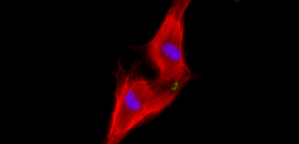 Two neonatal cardiomyocytes (stained red) undergoing cell division after treatment