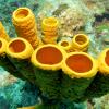 ספוגים צינוריים צהובים מתחתית האוקיינוס