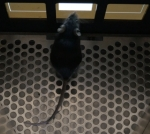 Mouse performing the five-choice serial reaction time task