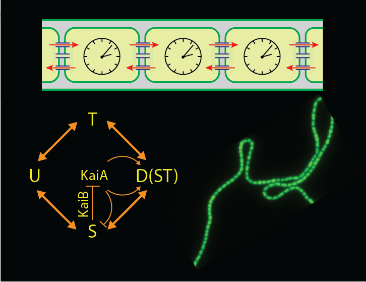 Coupled circadian clocks in multicellular cyanobacteria