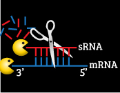 Systems biology of bacterial small RNAs
