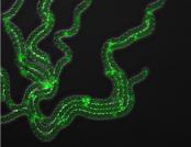 development in cyanobacteria