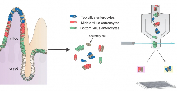 Clump sequencing exposes the spatial expression programs of intestinal secretory cells