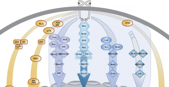Regulation of MAPKs by growth factors and receptor tyrosine kinases