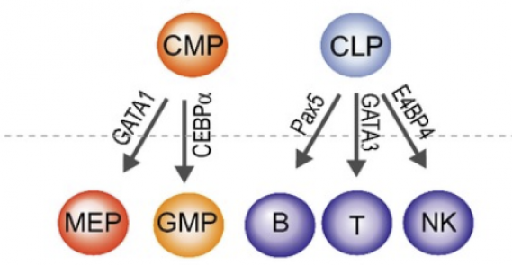 The role of chromatin dynamics in immune cell development