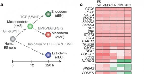 Transcription factor binding dynamics during human ES cell differentiation