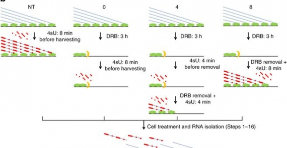 Simultaneous measurement of genome-wide transcription elongation speeds and rates of RNA polymerase II transition into active elongation with 4sUDRB-seq