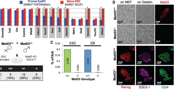 m(6)A mRNA methylation facilitates resolution of naive pluripotency toward differentiation