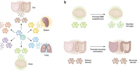 The role of the local environment and epigenetics in shaping macrophage identity and their effect on tissue homeostasis