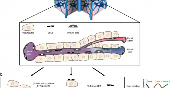 Paired-cell sequencing enables spatial gene expression mapping of liver endothelial cells