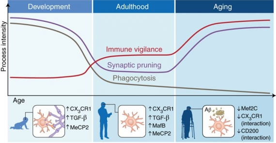 Microglial immune checkpoint mechanisms
