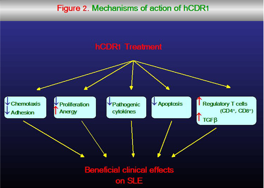 Mechanisms of action of hCDR1