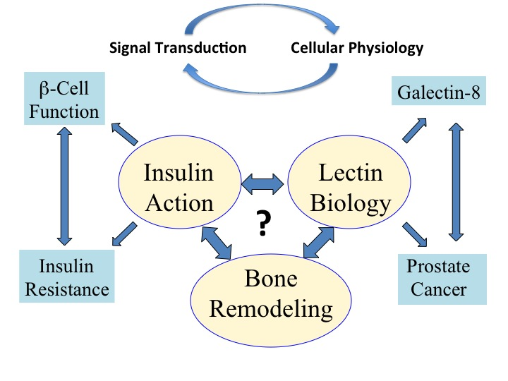 Insulin signaling and insulin resistance