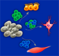 Control of fate decision in stem cells