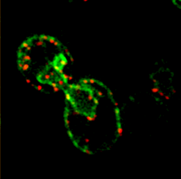 Single-molecule FISH shows that endogenously expressed SUC2 mRNA (red) localizes to cortical and nuclear ER (green) in yeast