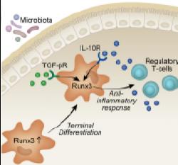 Runx3 in mononuclear phagocytes