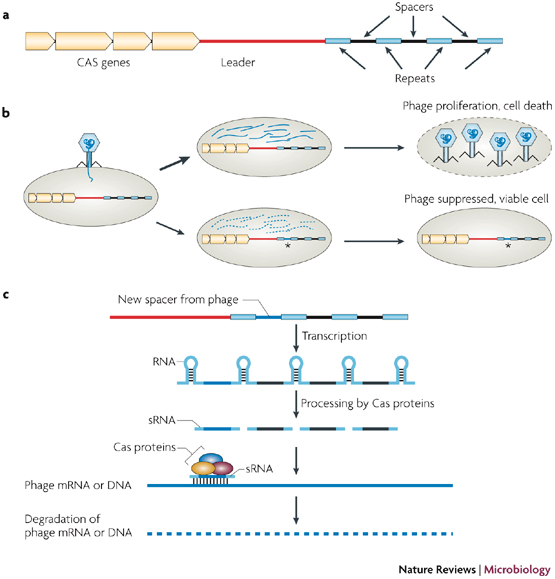 Biology and Applications of CRISPR Systems: Harnessing ...