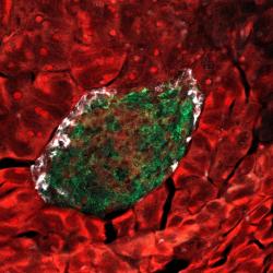 Non-coding RNA tissue functions