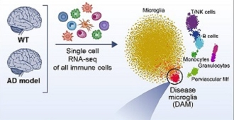 Illustration of the newly discovered disease-associated microglia (DAM) cells
