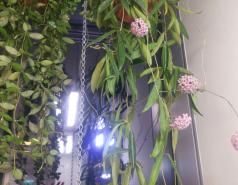 Hoya 'Minibelle' and Hoya lacunosa