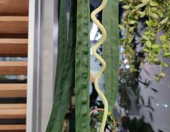 Anthurium wendlingeri