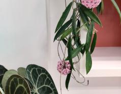 Anthurium clarinervium and Hoya 'Minibelle'